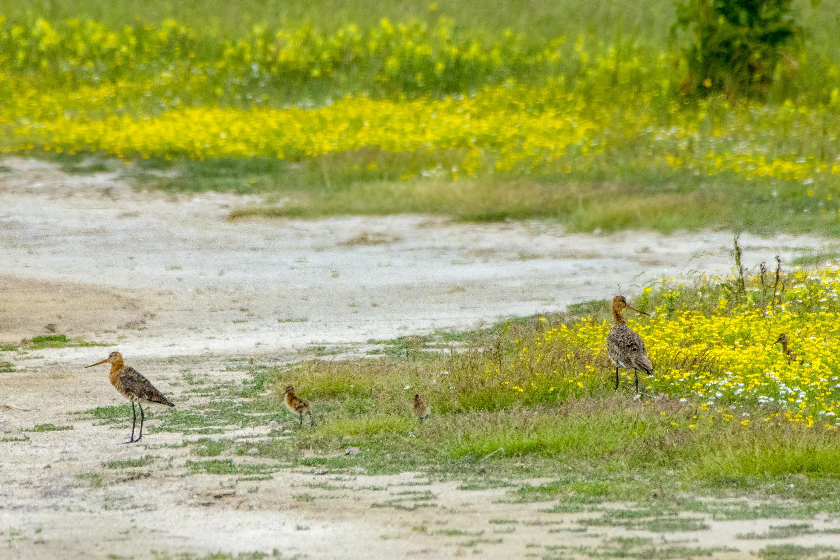 Maaiblunder in Waalenburg leidt tot verontwaardiging Texelse vogelliefhebbers