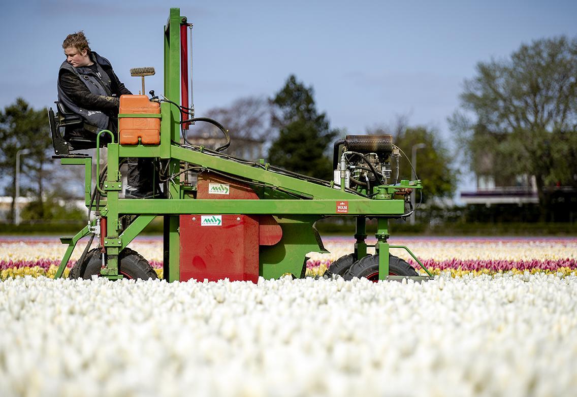 Bollenkwekers gaan bloemen bollenvelden eerder weghalen; hopen dat bezoekers wegblijven