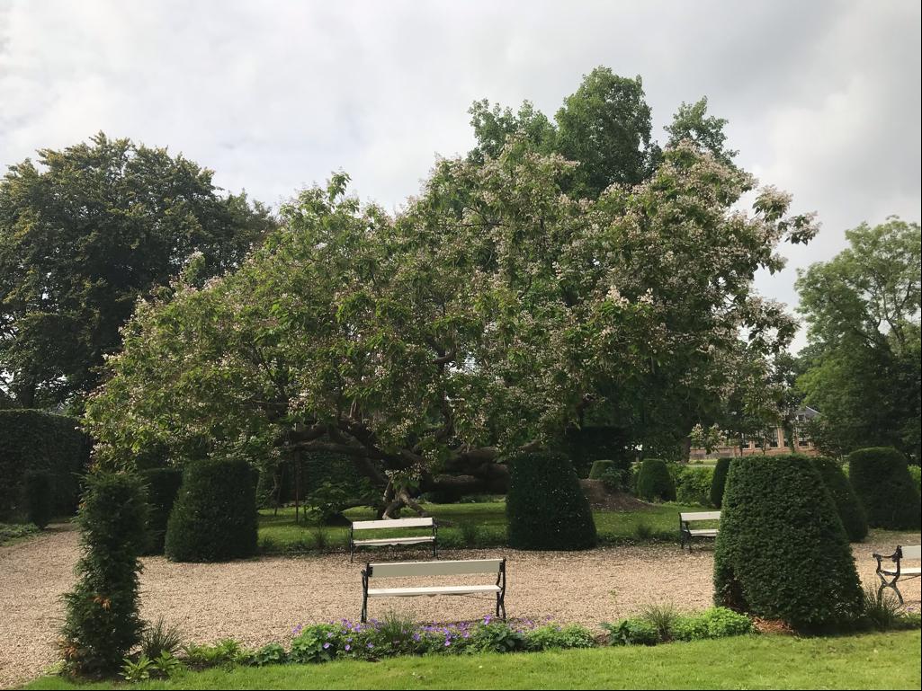 'Veteranenboom' Stichtse Vecht groeit en bloeit na val gewoon door, gemeente koestert 98 jaar oude trompetboom bij rijksmonument Boom en Bosch