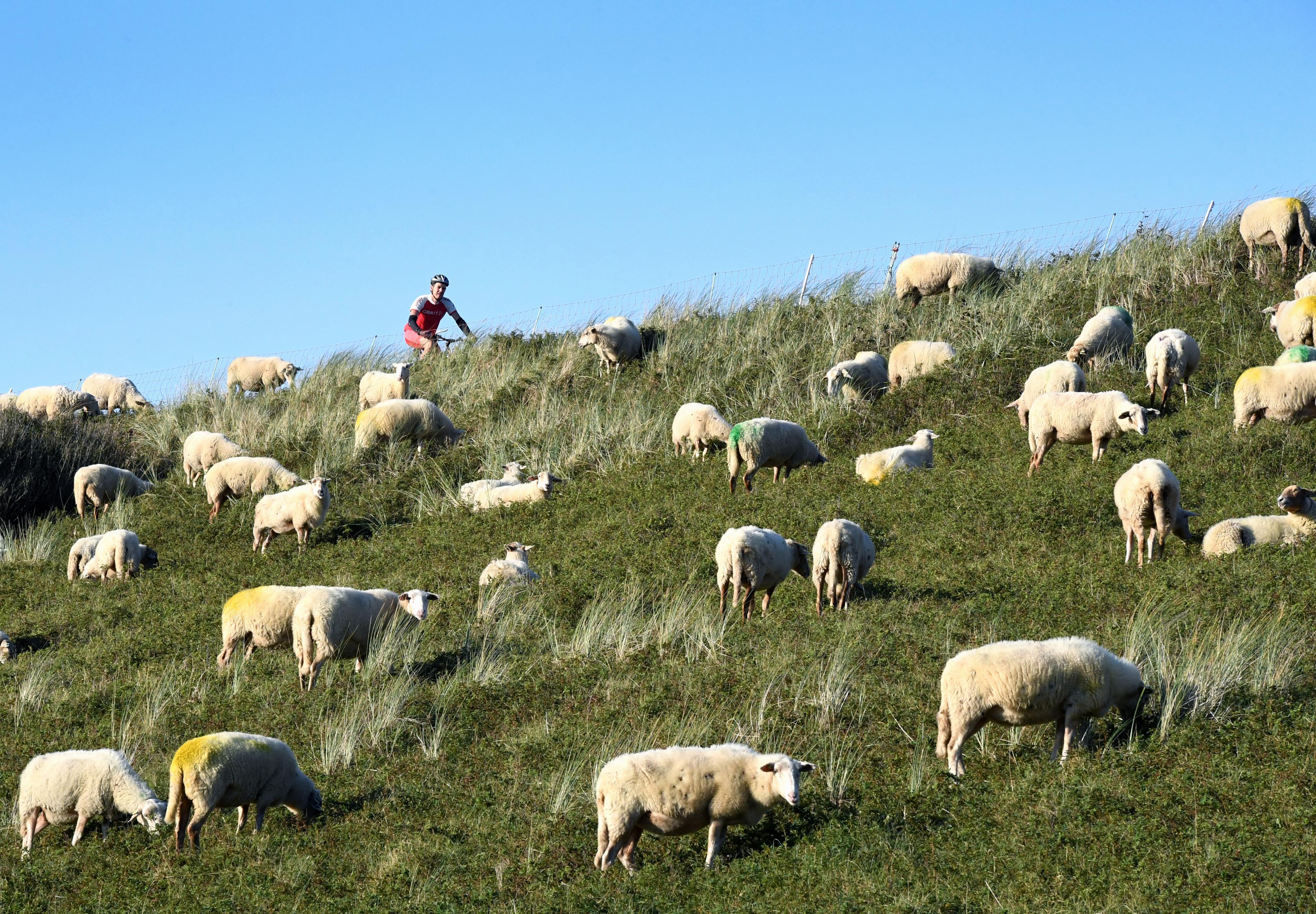 Schaapjes houden het gras van de Zanddijk in Julianadorp kort, een lieflijk tafereel