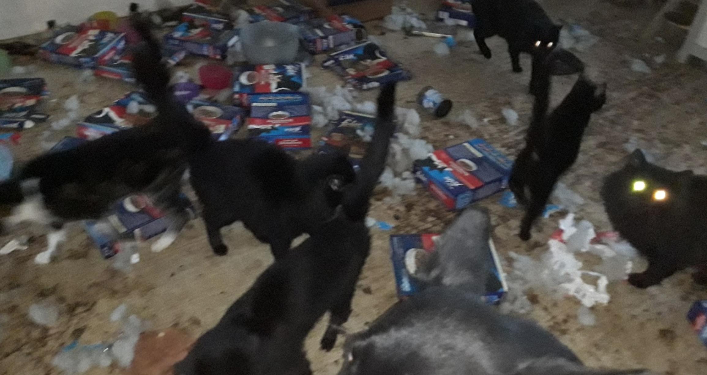Dierenbeschermers halen 58 katten uit vervuild huis in de gemeente Katwijk [video]