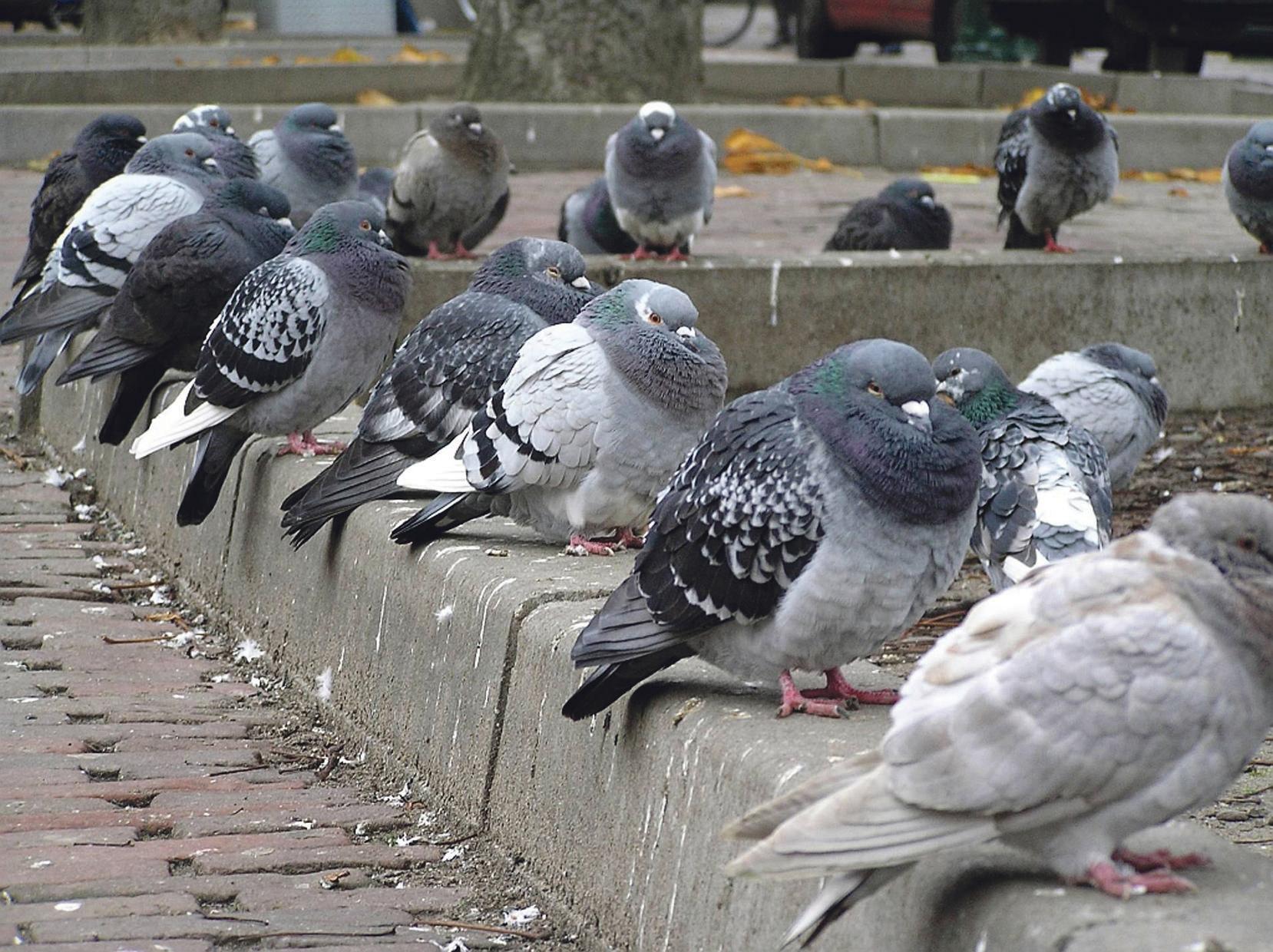 De Raad van State, 's lands hoogste rechtsorgaan, buigt zich over... duivenpoep uit Egmond
