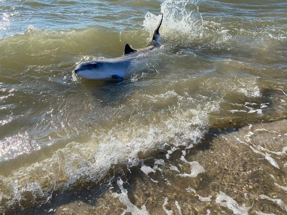 Aangespoelde bruinvis in Petten terug in zee geholpen