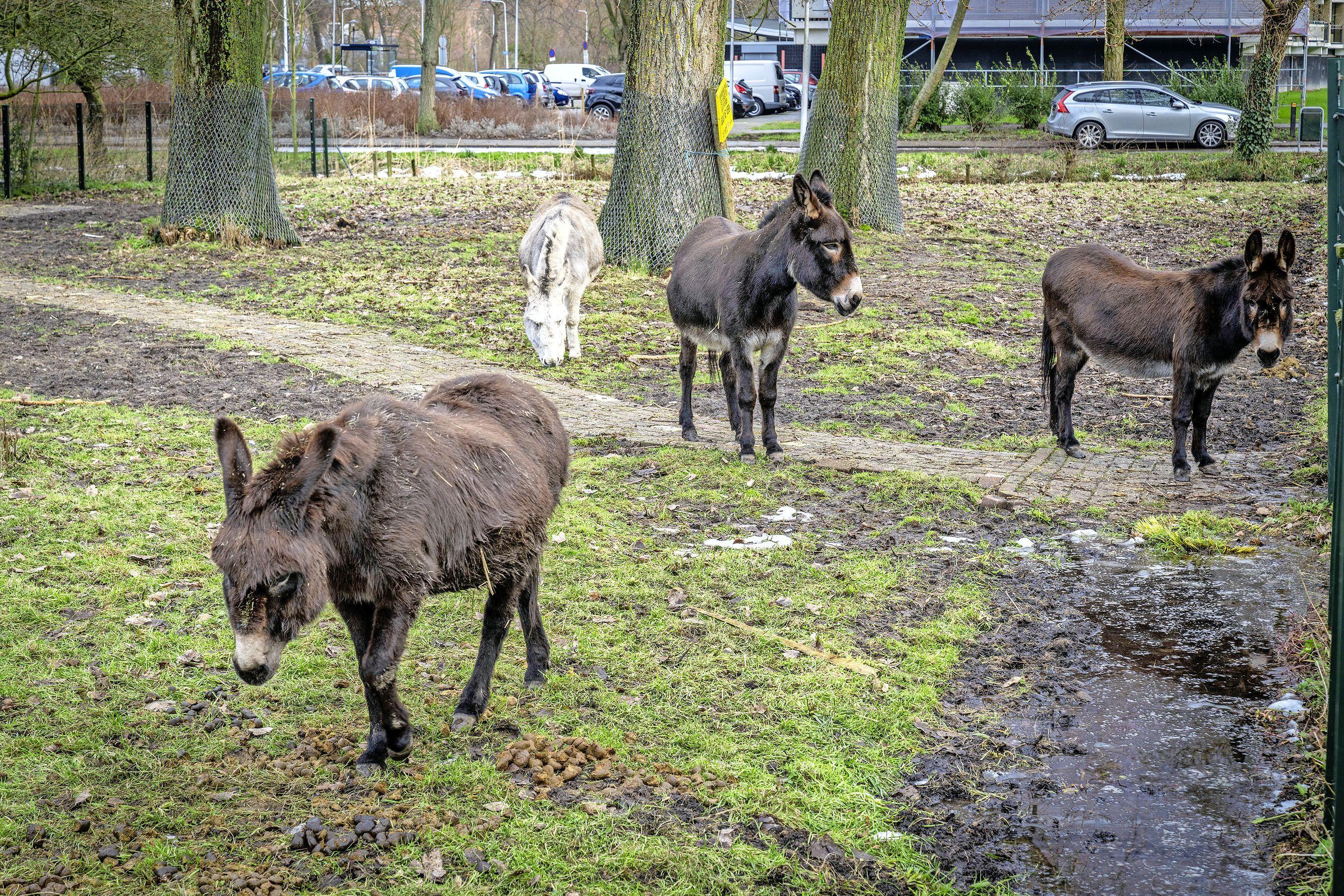 Vier ezels als kwartiermakers in vernieuwde, Leidse kinderboerderij Kweeklust