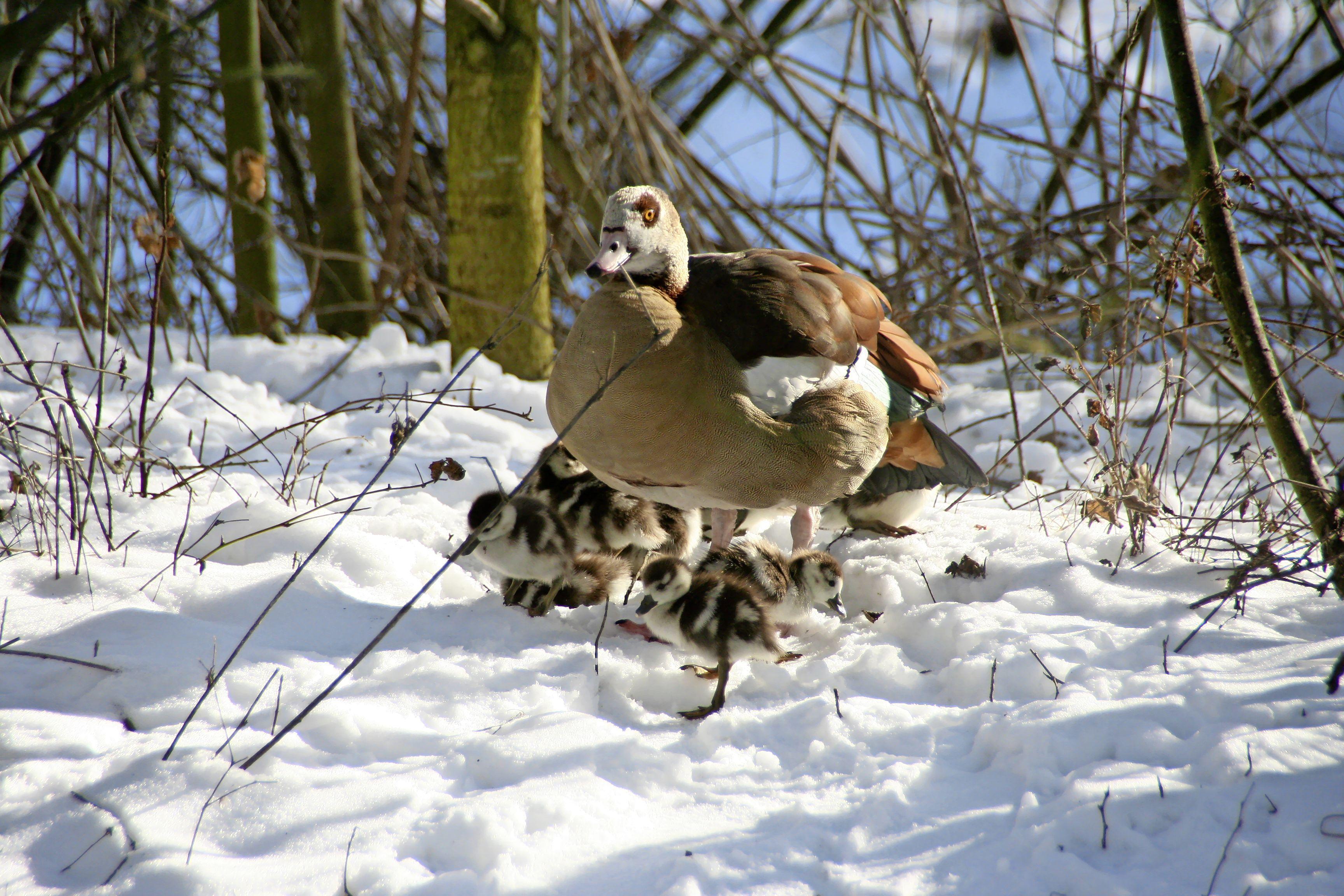 Moeder de gans is er in Noordwijk erg vroeg bij: negen kuikens geboren in de sneeuw