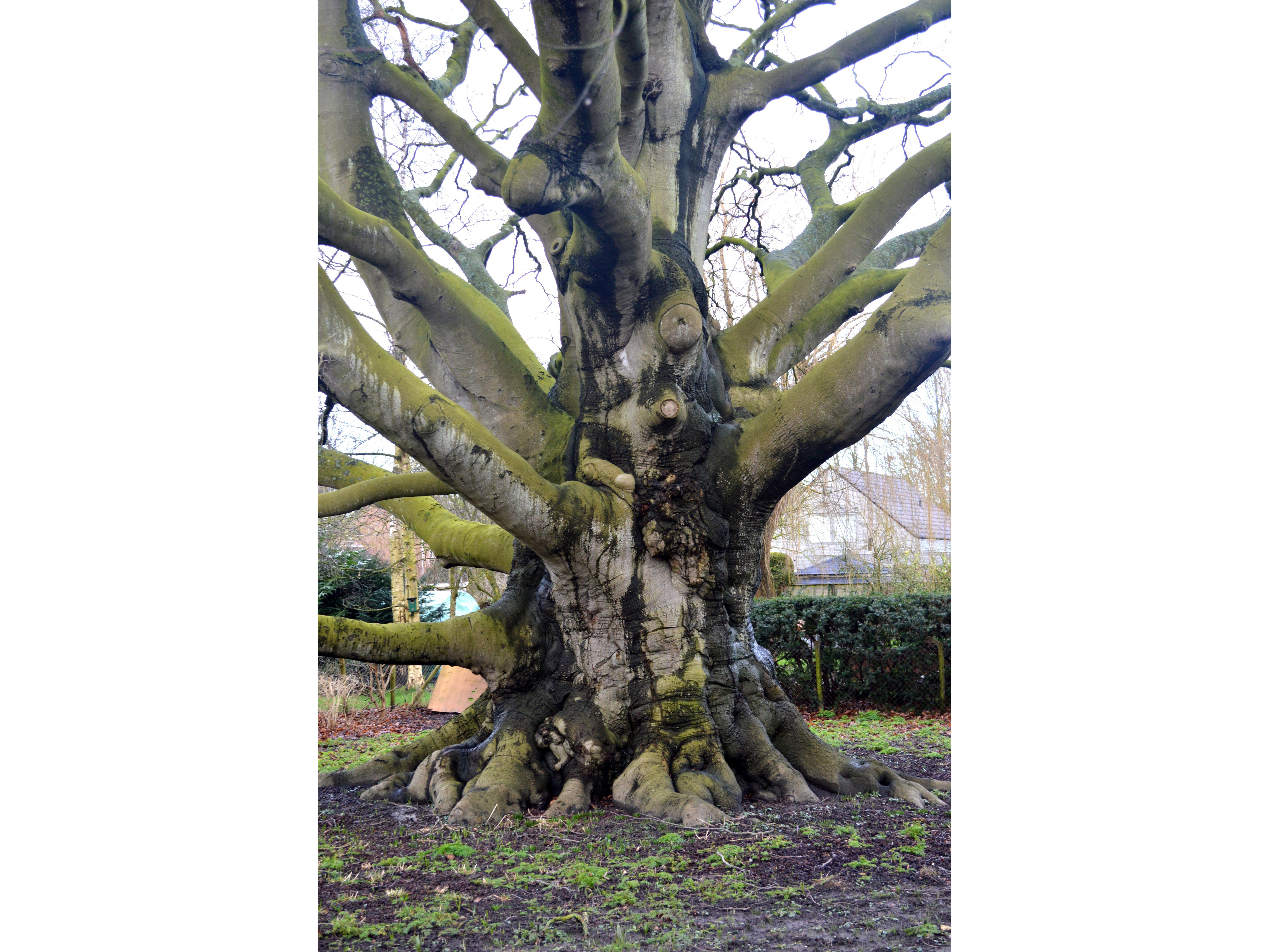 Beuk in Blokker is mooiste boom van Noord-Holland
