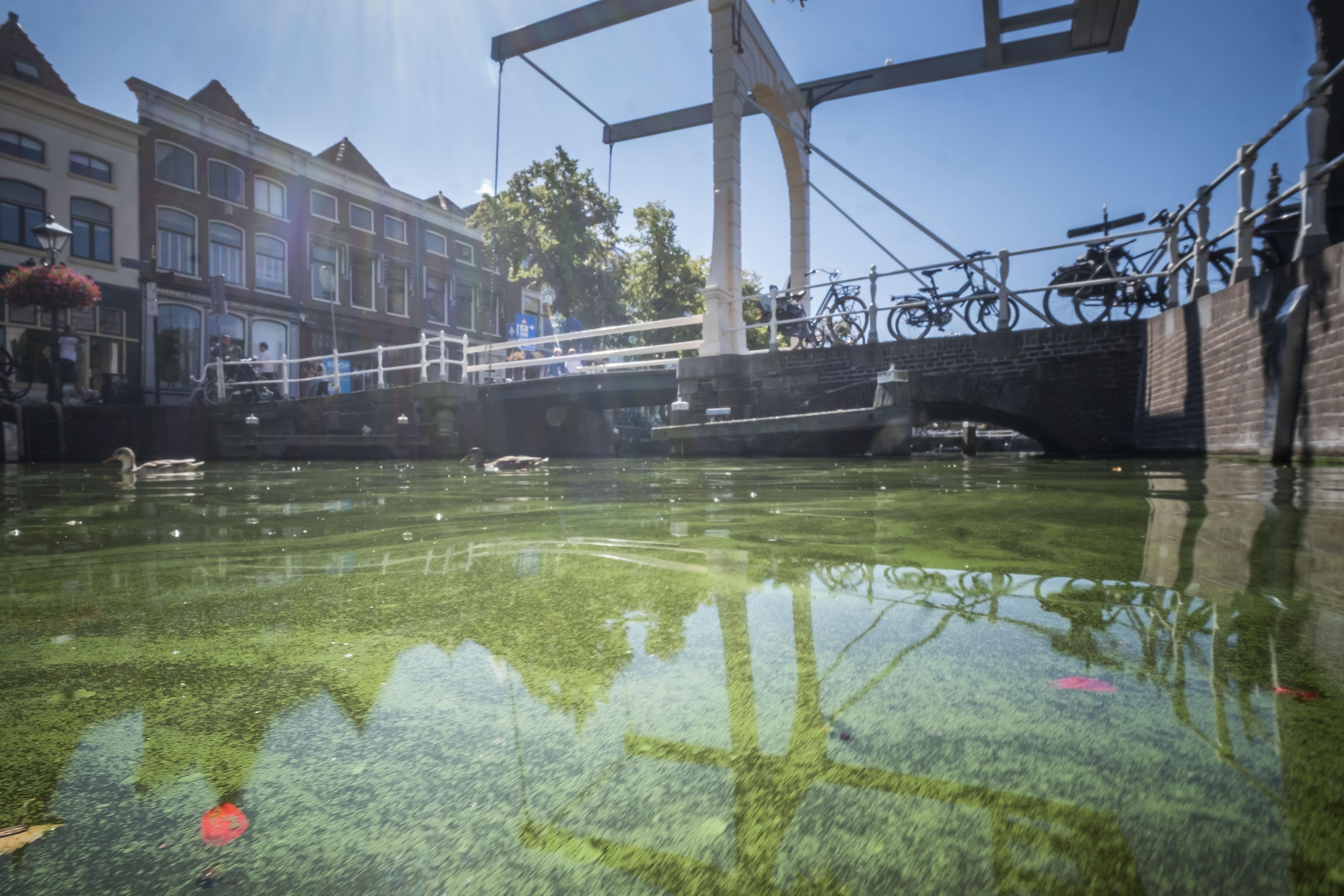 De grachten van Alkmaar krijgen weer de aankondigende zweem van smaragd, de nieuwe tint vertelt dat de giftige bacterie weer bloeit in de stad: Blauwalg