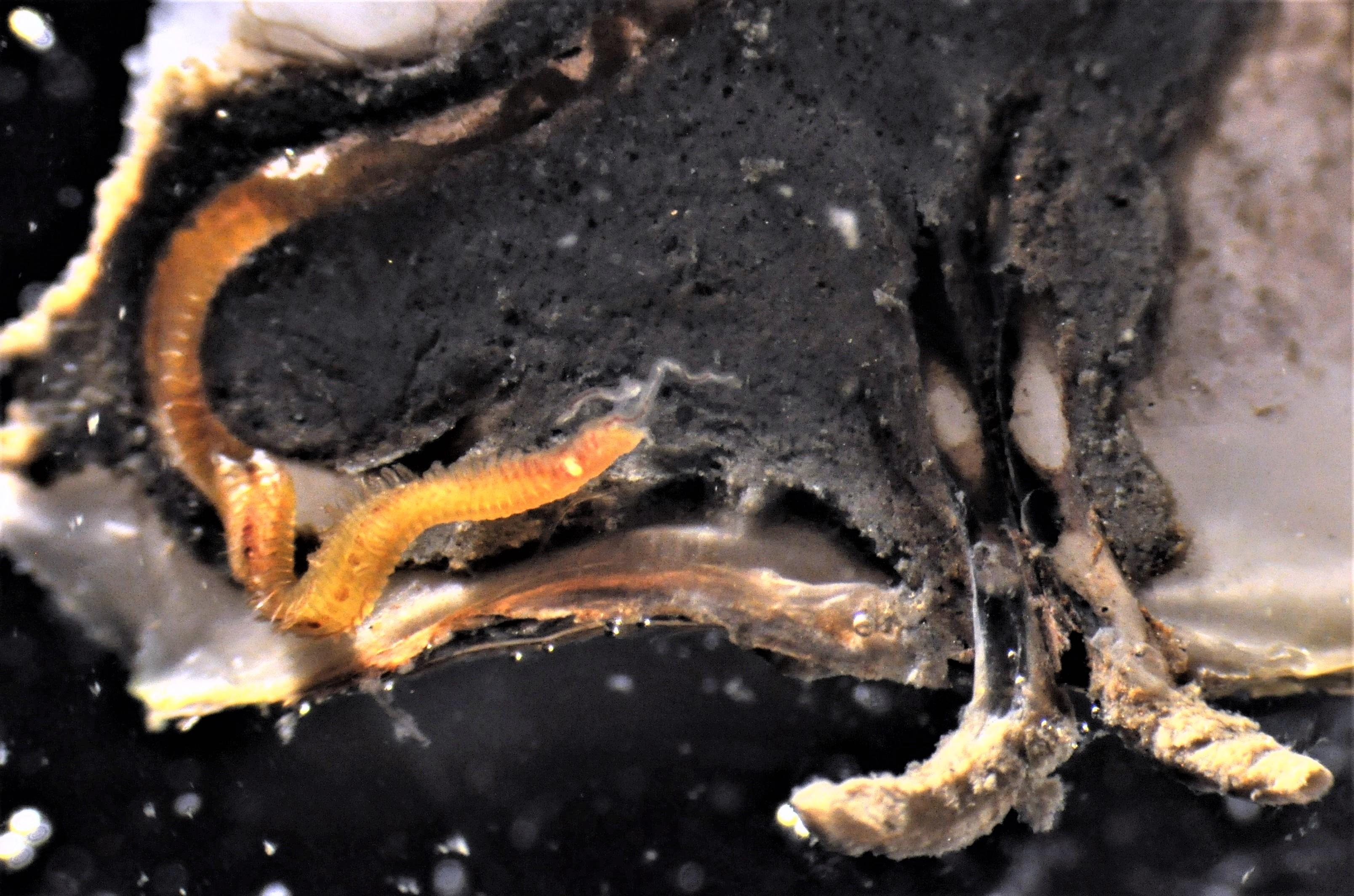 Boorworm uit Stille Zuidzee bedreigt oesters in de Waddenzee
