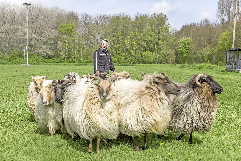 Bijzondere kudde Drentse heideschapen dreigt in Westwoud te verdwijnen: 'Zonder nieuw land moet ik mijn schapen verkopen'