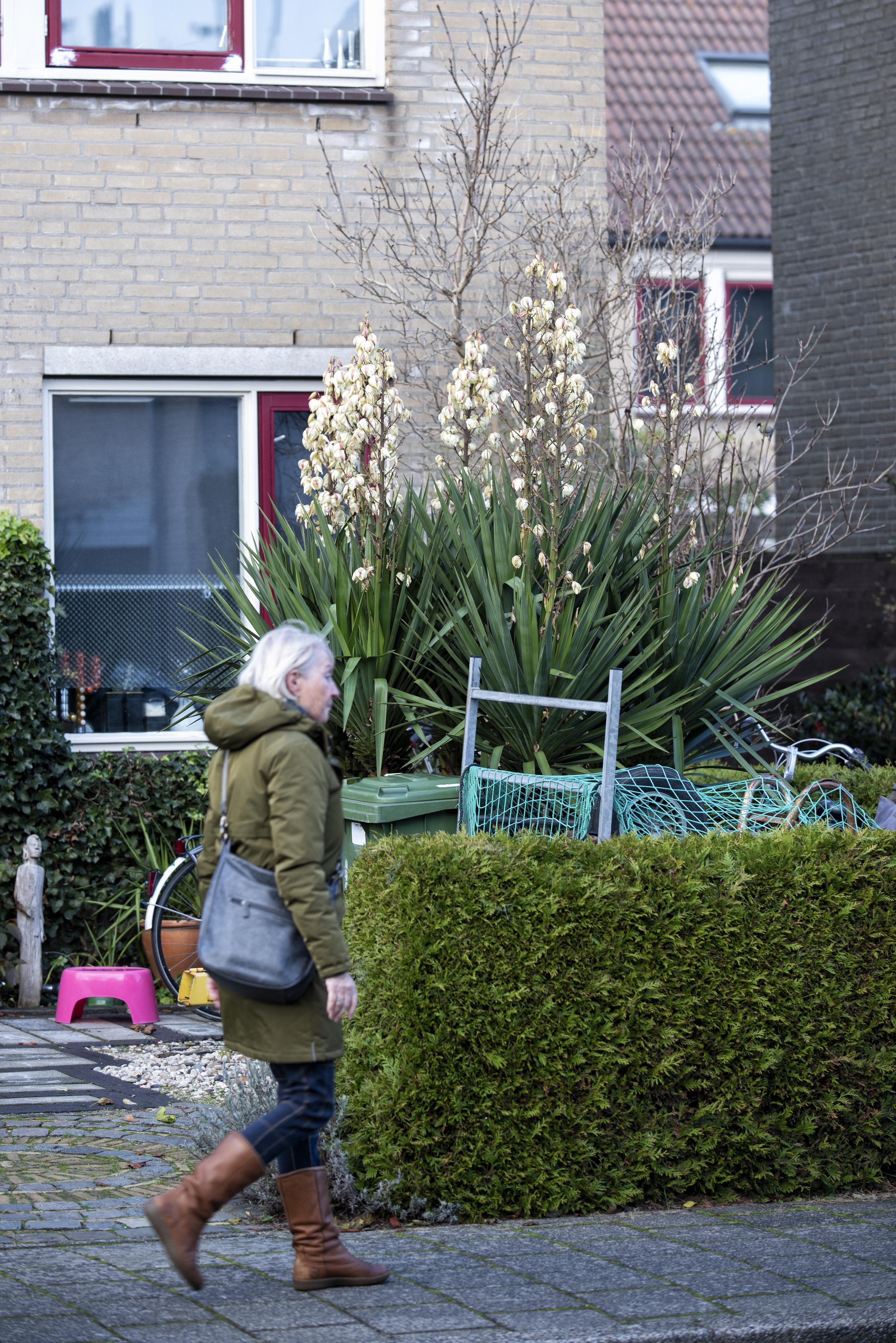 Uitslover bloeit uitbundig in de winter