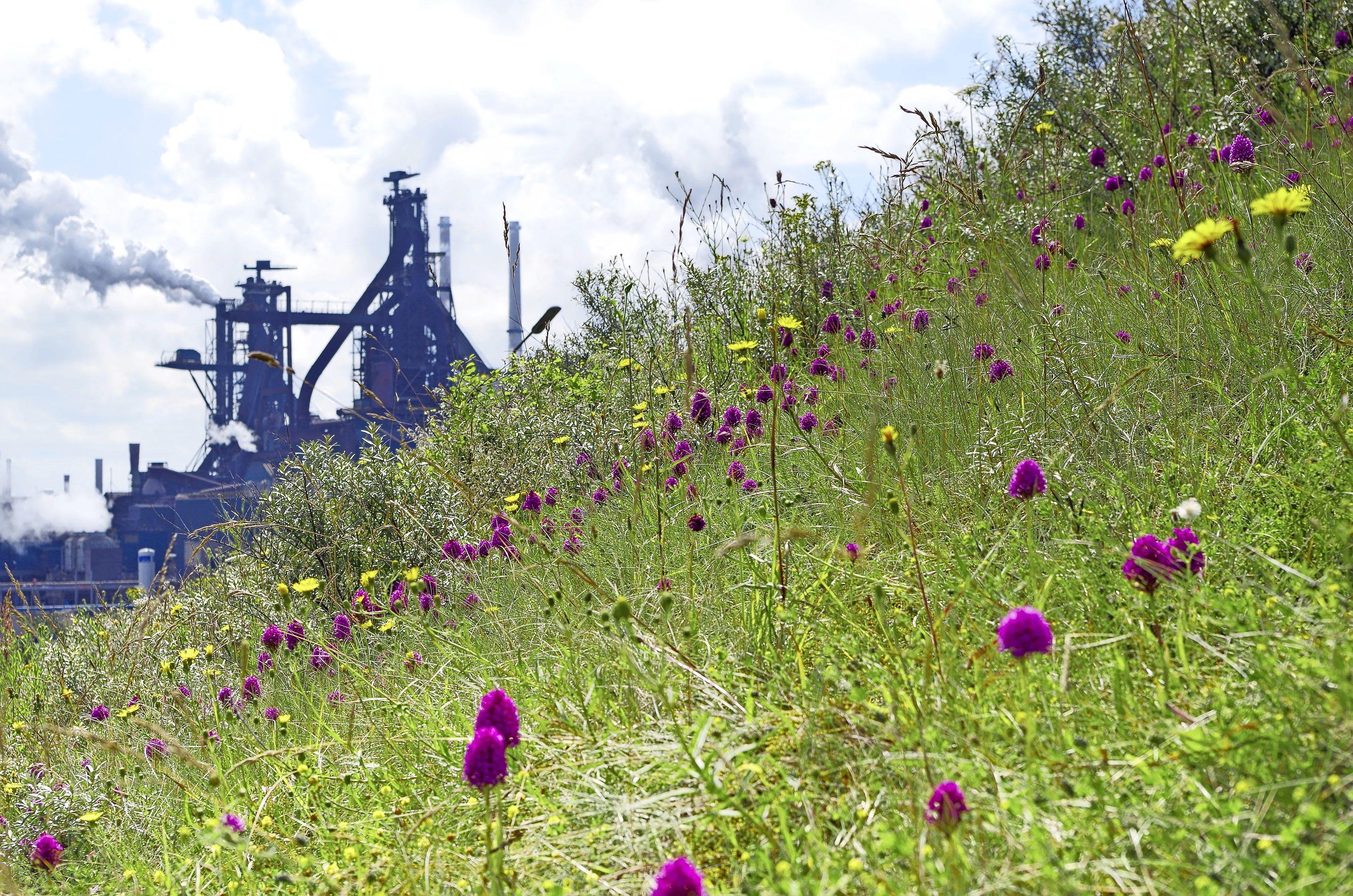 Bijzondere natuur bij staalbedrijf Tata Steel. Ook de ijsvogel is sinds donderdag weer te bewonderen via een cam