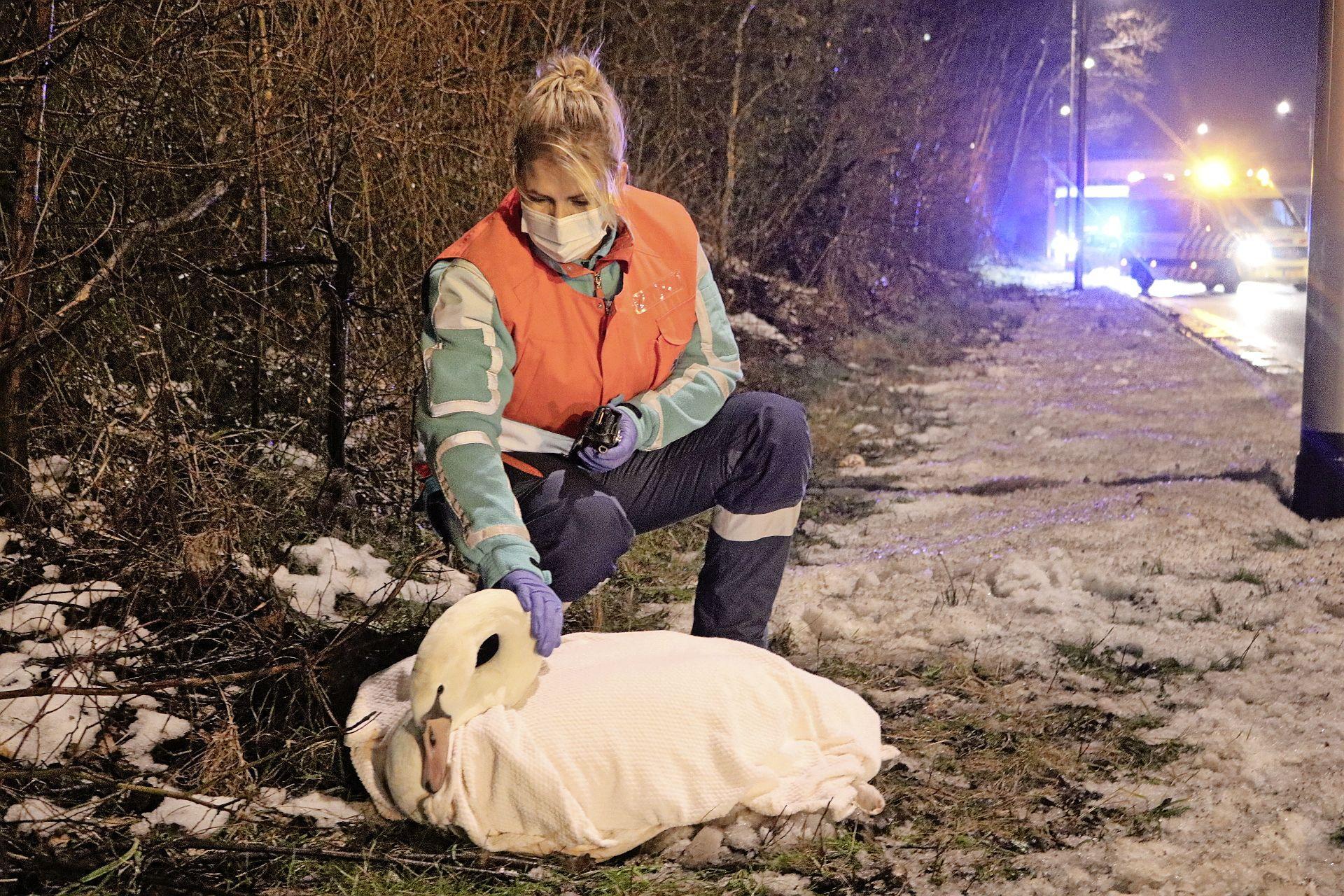 Zwaan gewond bij ongeluk tussen twee voertuigen in Katwijk; langsrijdende ambulancebroeders houden het gewonde dier warm