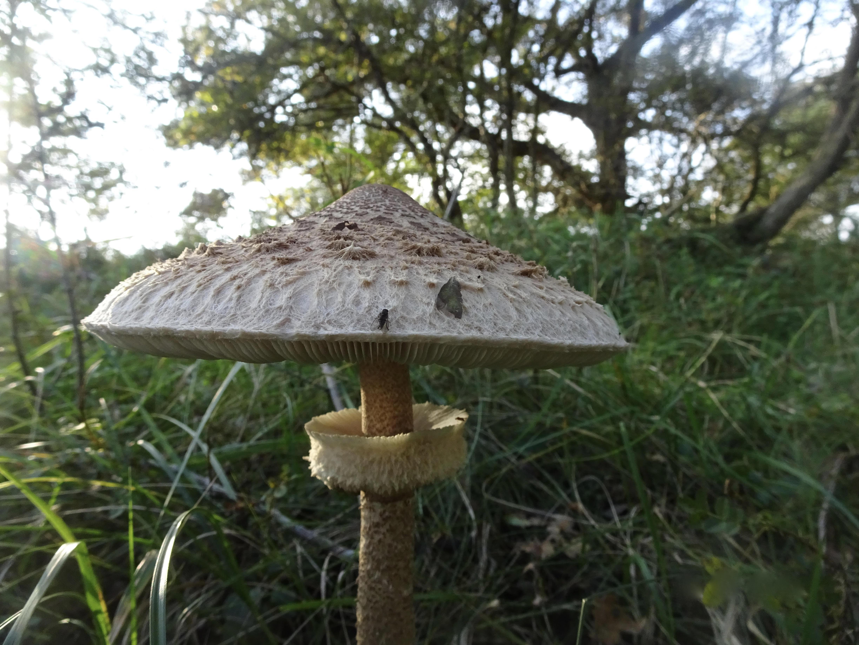 Lezersfoto: parasolzwam