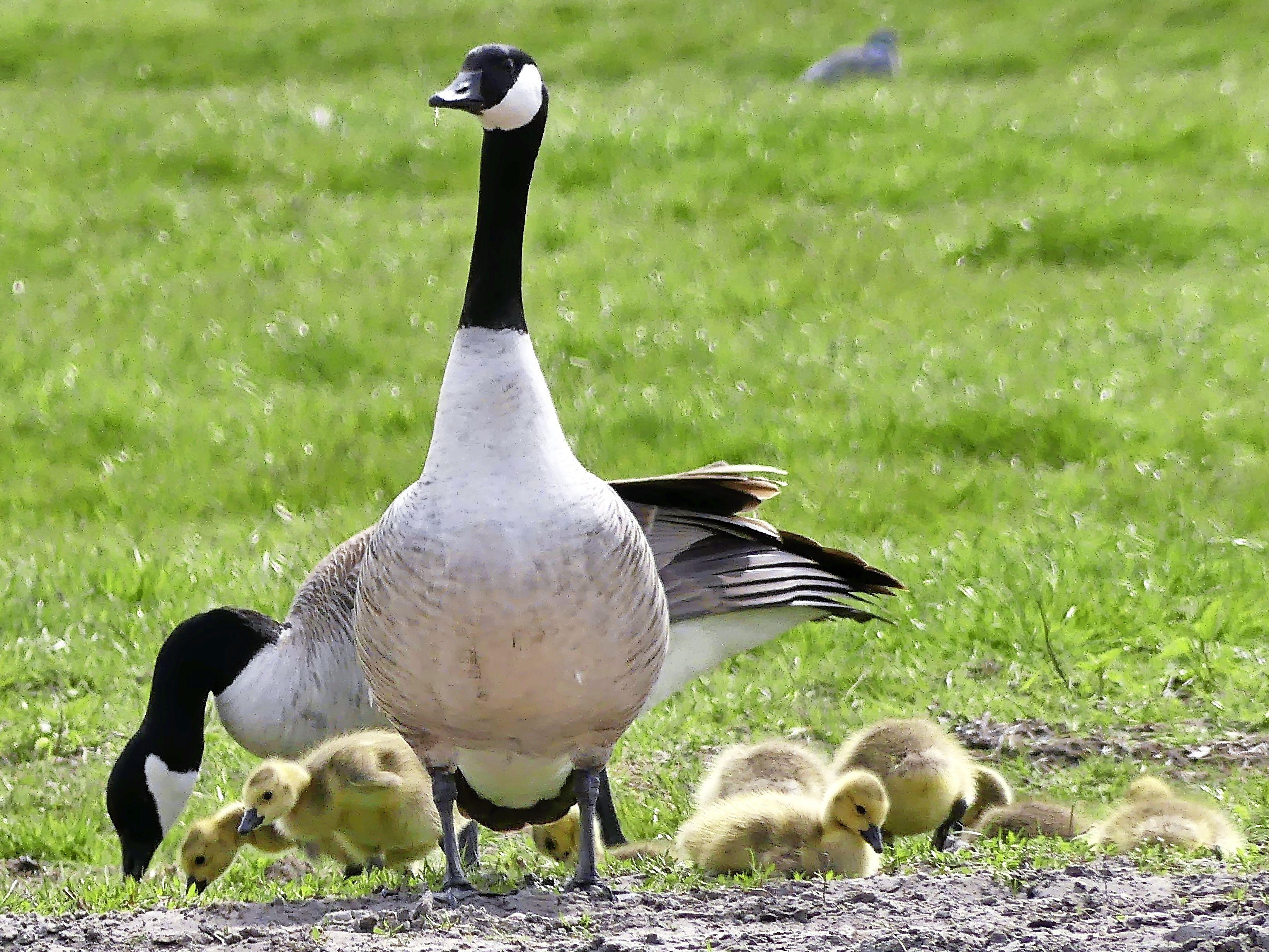 Canadese gansjes nog even veilig onder moeders vleugels