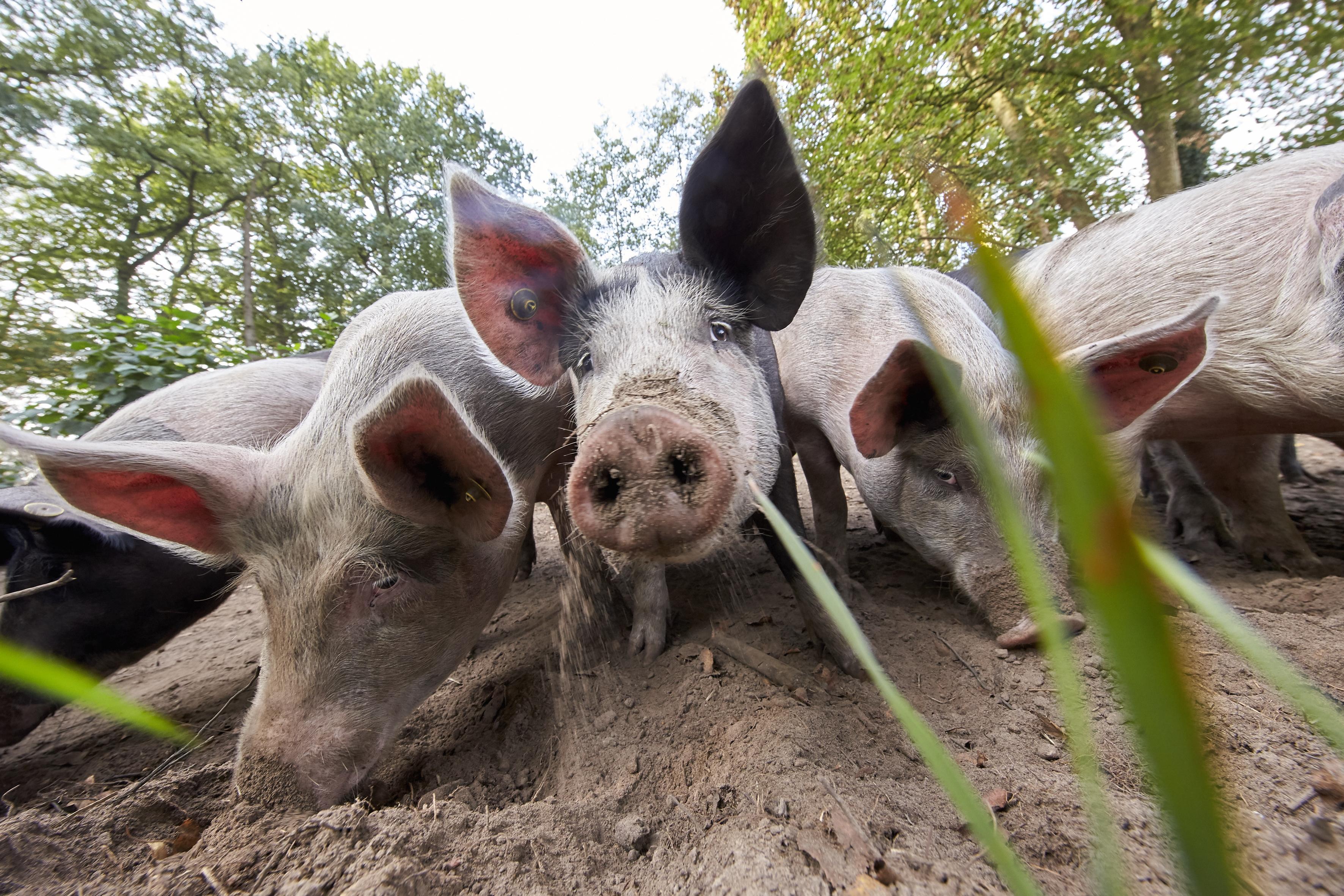 Woelende varkens en rijen vol sla: wie duurzaam en lokaal geproduceerde producten wil eten, kan straks terecht op de boerderij van Herenboeren Duinstreek
