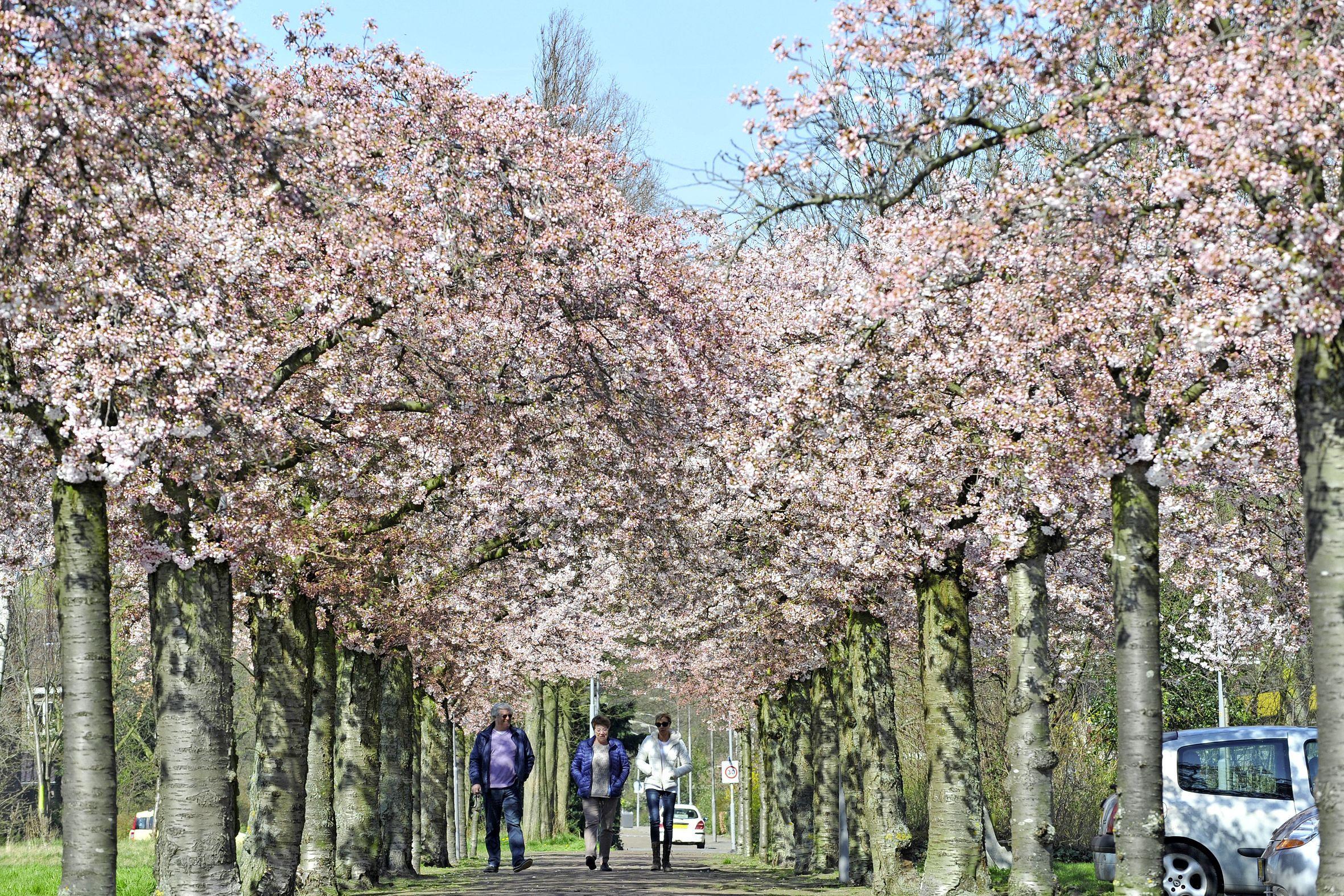 Zestig zieke bomen worden in Heemskerk gekapt met de belofte: 'Vanzelfsprekend plaatsen we nieuwe bomen terug'