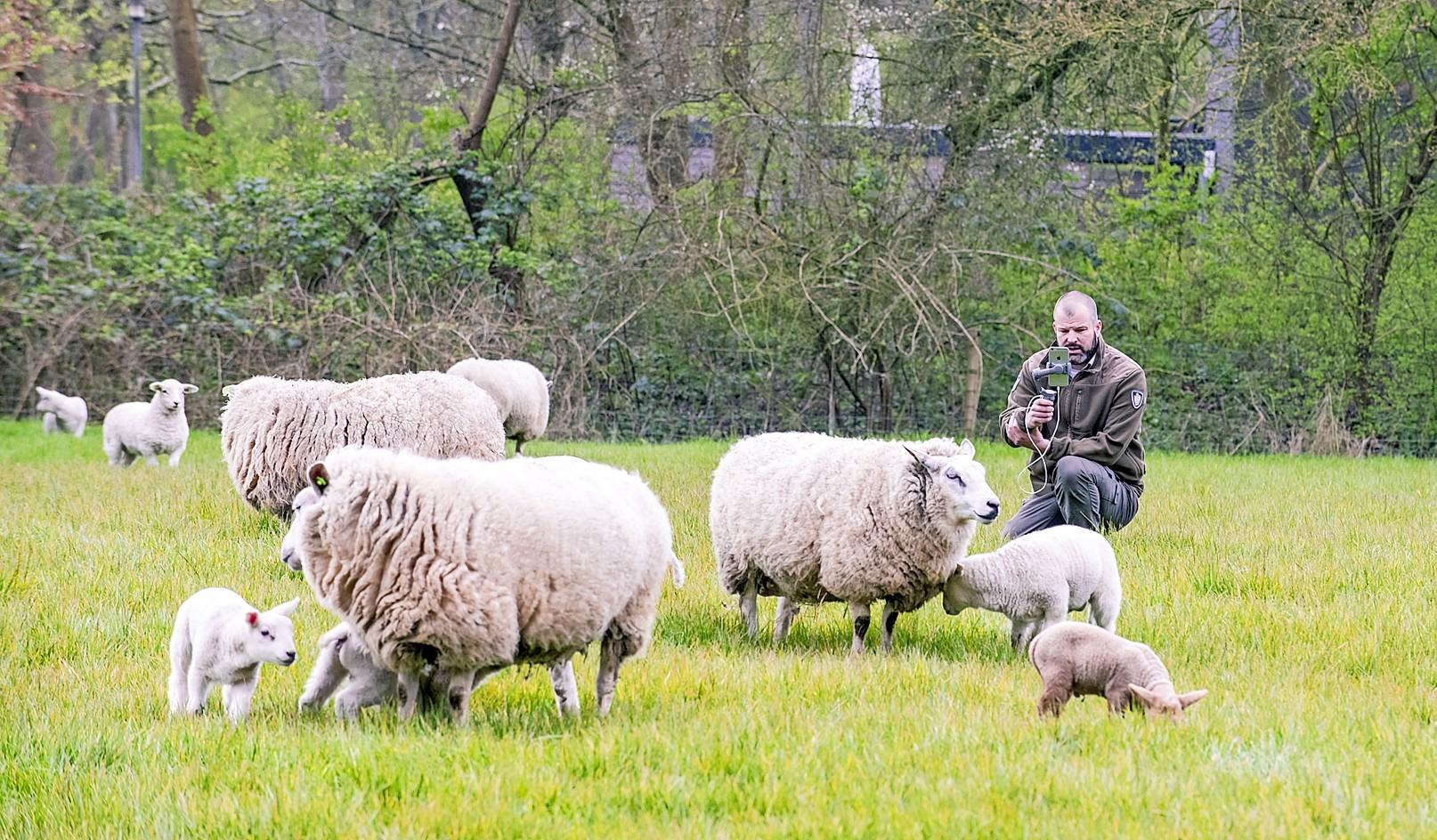 Boswachter Theo vlogt over de lammetjes op boerderij Zorgvrij in Velsen-Zuid. 'Ik wil de lente bij de mensen thuisbrengen' [video]