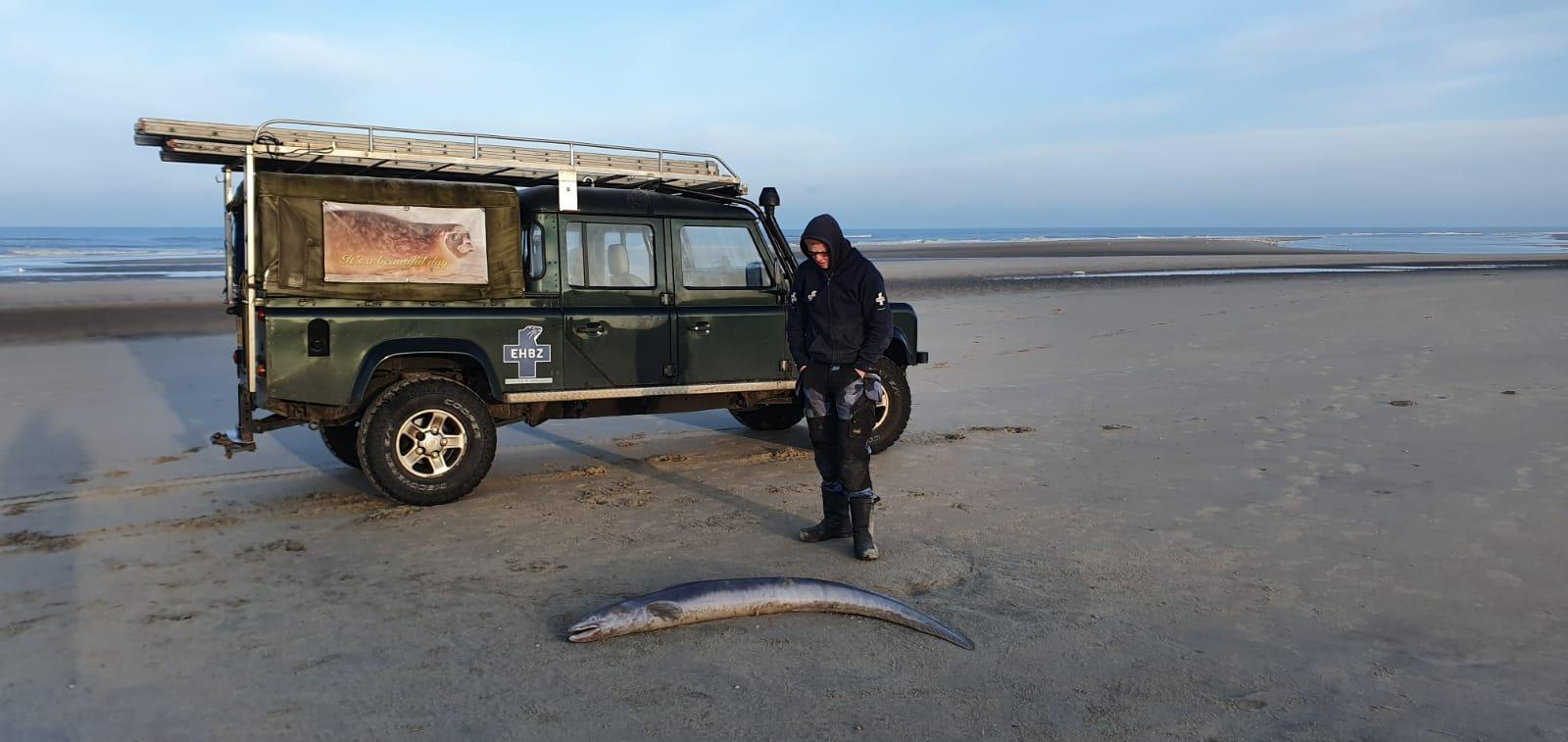 Op Katwijkse kust aangespoelde kongeraal zeldzame vondst, buitenkansje voor Naturalis