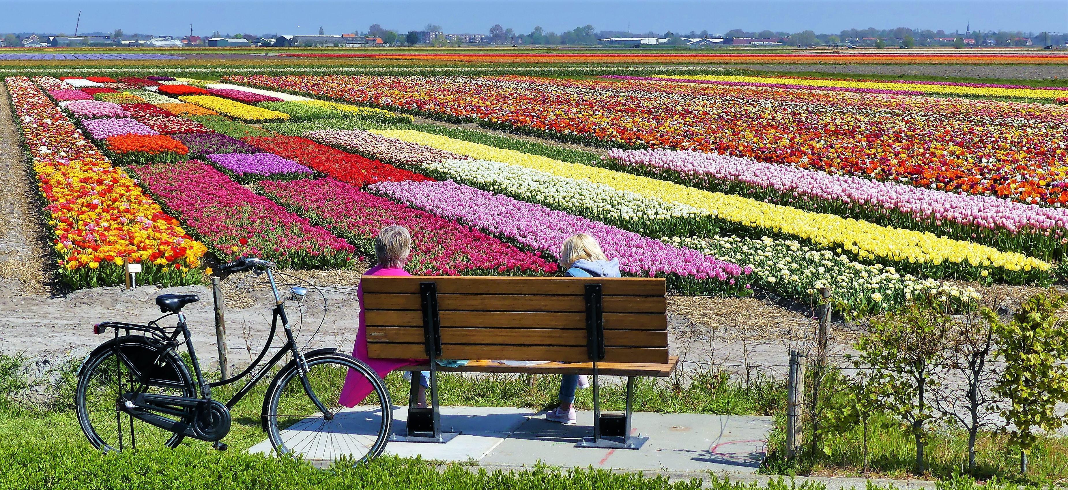 Ook bloeiende 'selfietuin' in Noordwijkerhout niet toegankelijk voor toeristen