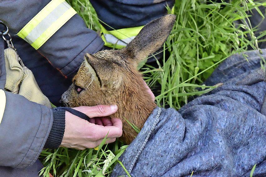 Brandweer redt jonge smalree uit de Korte Vliet in Voorschoten, jong beest wordt uitgezet op landgoed De Horsten