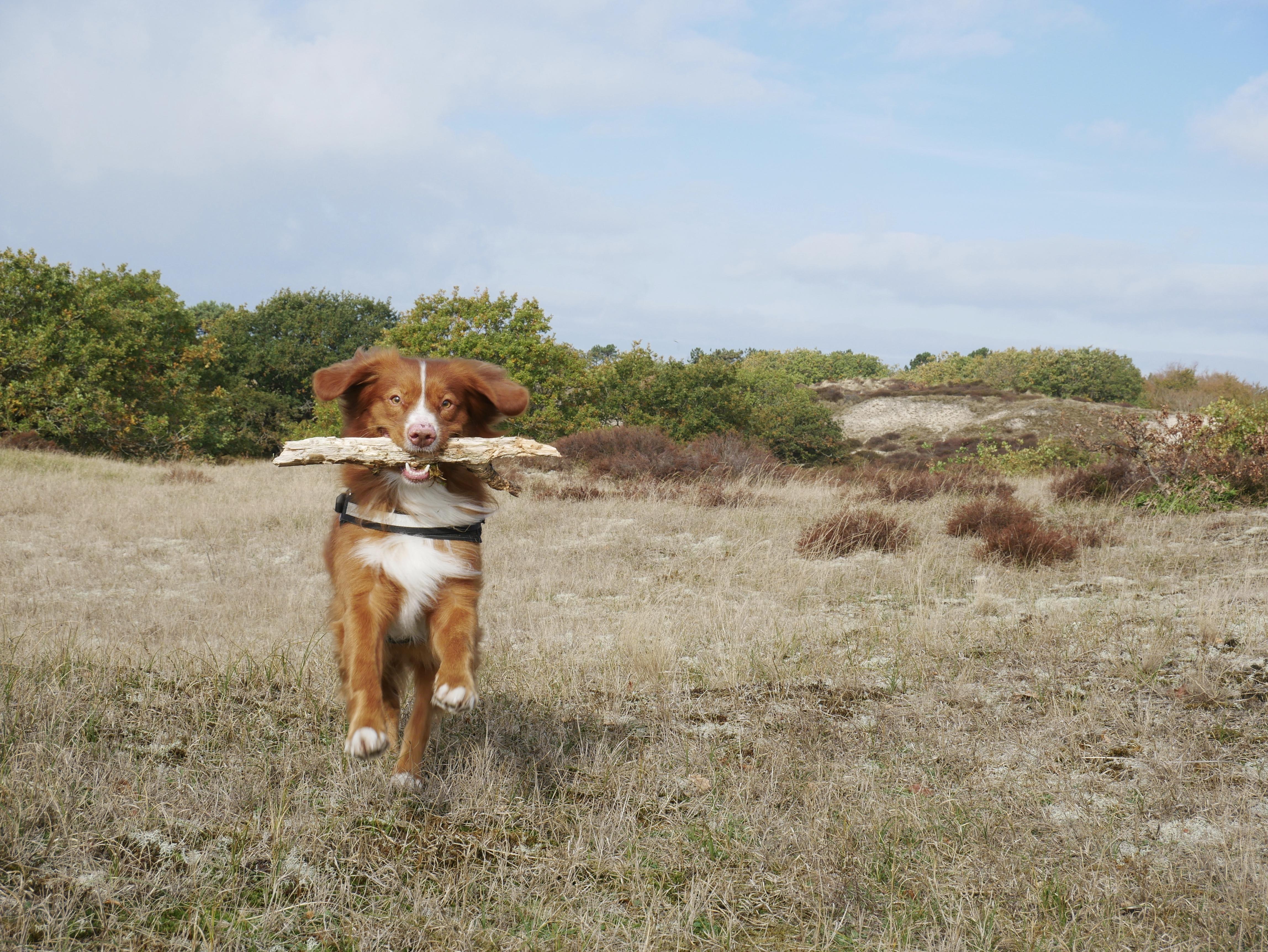 Wie heeft de mooiste, leukste en schattigste hond? De boswachters zijn op zoek naar 'Schoorl's Next Dog Model'