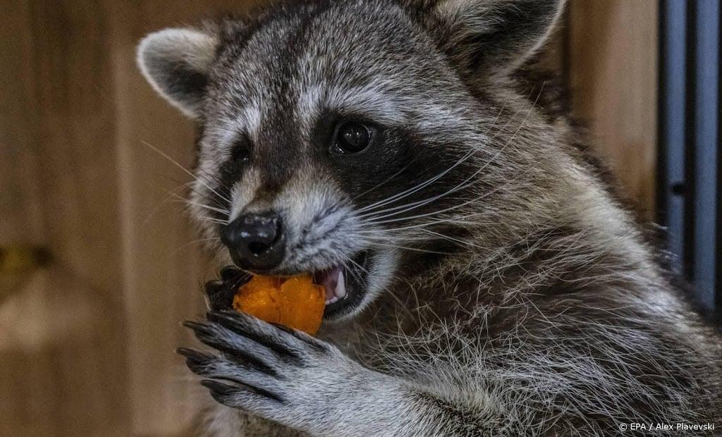 Opnieuw wasbeer aangetroffen in Brabantse Vught