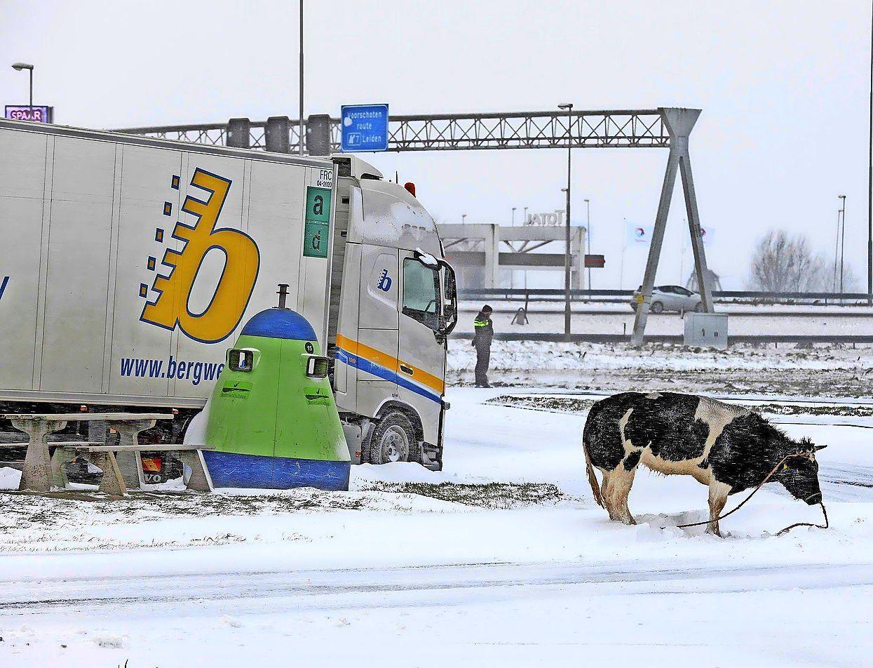 Animal Rights dient klacht in bij politie over doodschieten koe bij tankstation Leiderdorp