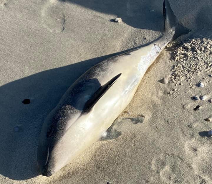 Voor de derde keer in tien dagen spoelt er een bruinvis aan op het strand in de Noordkop. Meest recente 'strander' op Texel is overleden