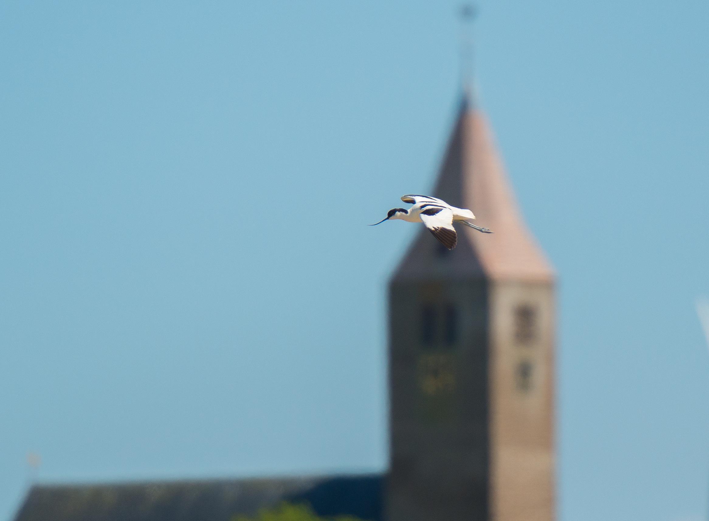 Een sierlijke kluut scheert langs een eeuwenoude kerktoren. 'Wieringen is zó bijzonder', zegt natuurfotograaf Gerard Bos genietend