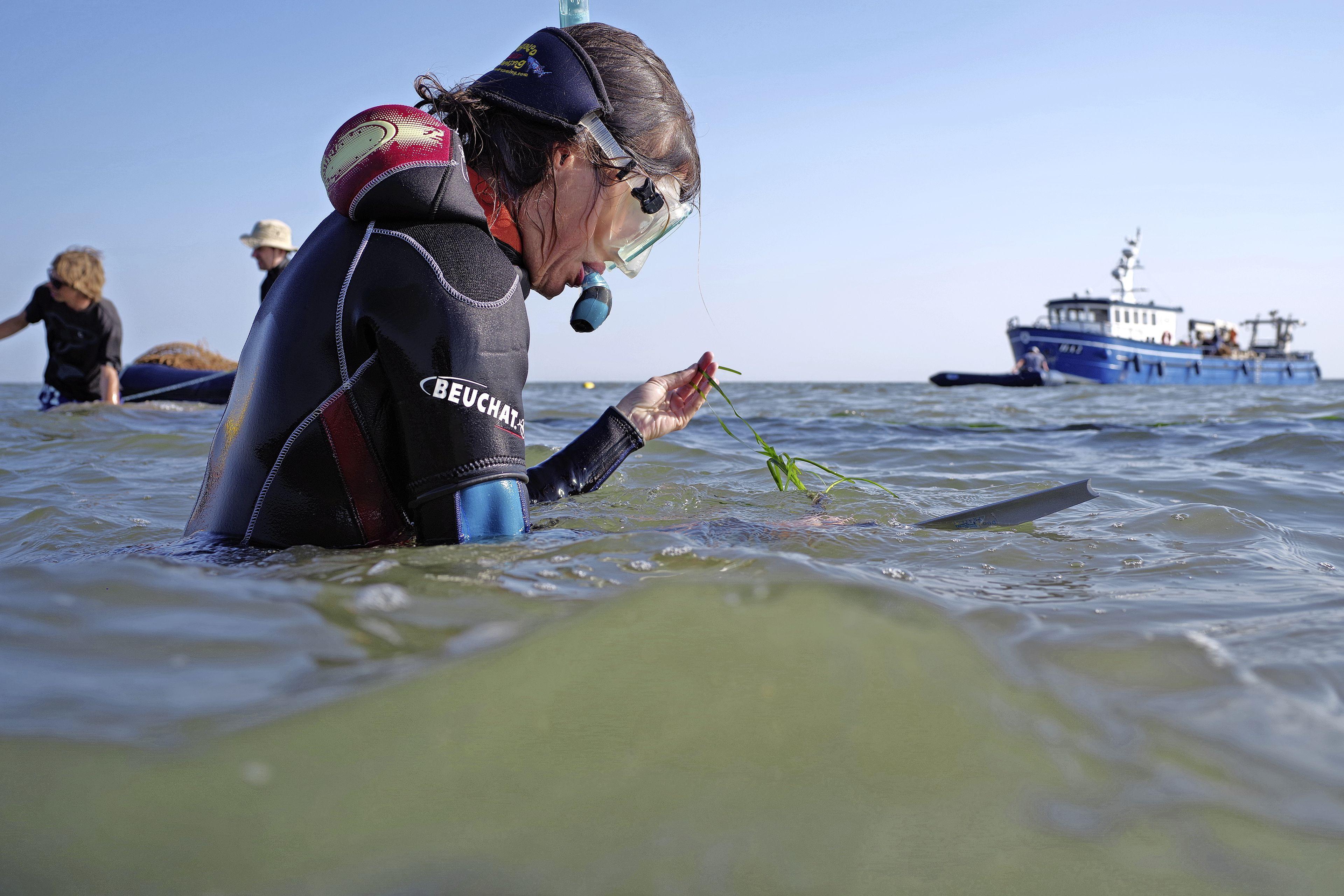 Na de aanleg van de Afsluitdijk verdween het zeegras uit de Waddenzee. Nu zijn voor het eerst stekken geplant op de Vlakte van Kerken en het Zachte Bed. 'De grote vraag is of ze het gaan overleven'