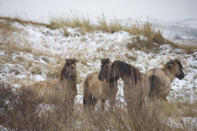 Actievoerders woedend over paarden op Texel die waarschijnlijk geslacht worden: mogelijk demonstratie