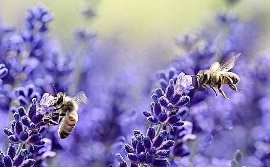 Het gaat goed met de bijentelling, maar gaat het ook goed met de bij? | Commentaar