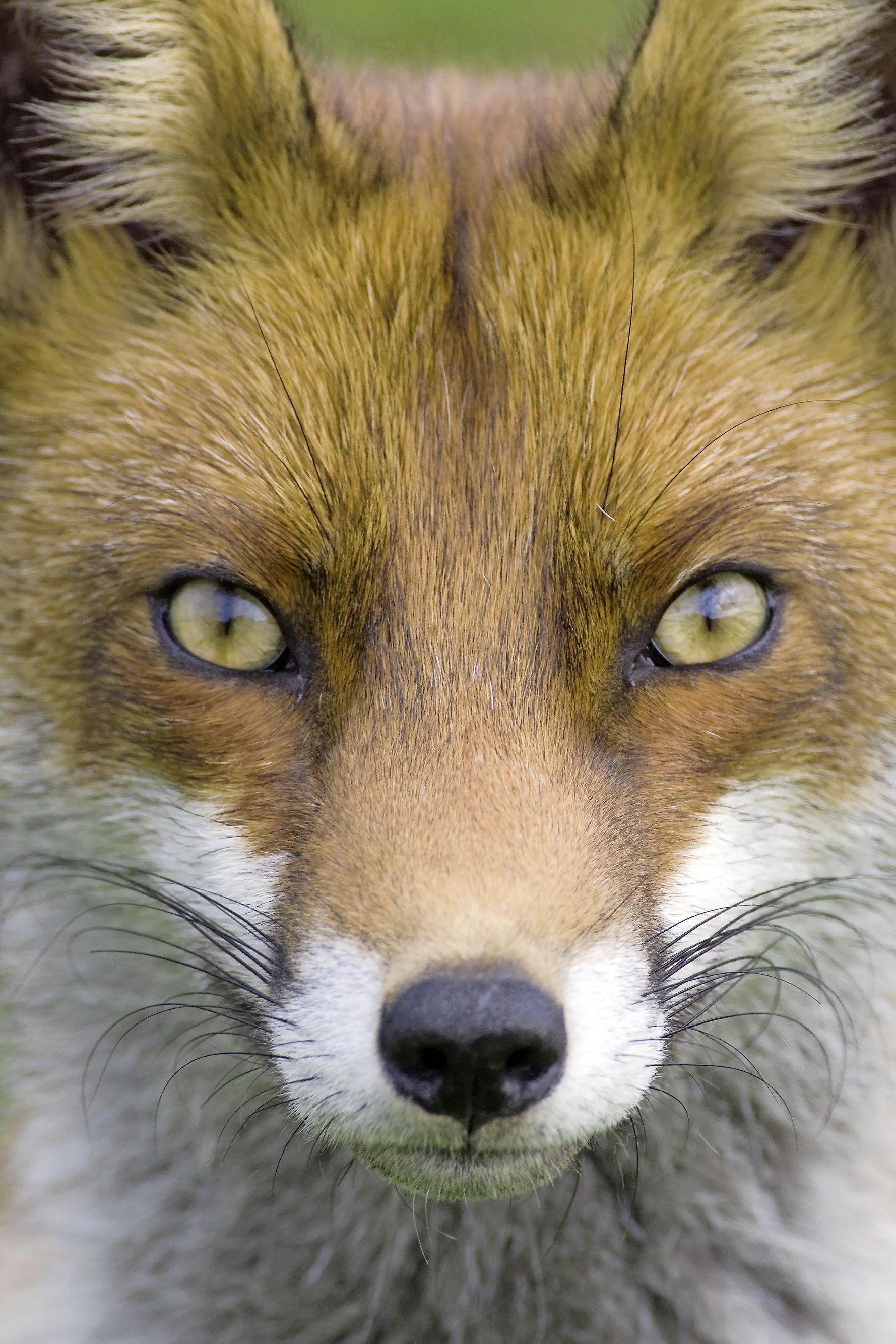 De vos krijgt telkens maar de schuld, maar de achteruitgang van weidevogels heeft maar één echte oorzaak: moderne landbouw | Opinie