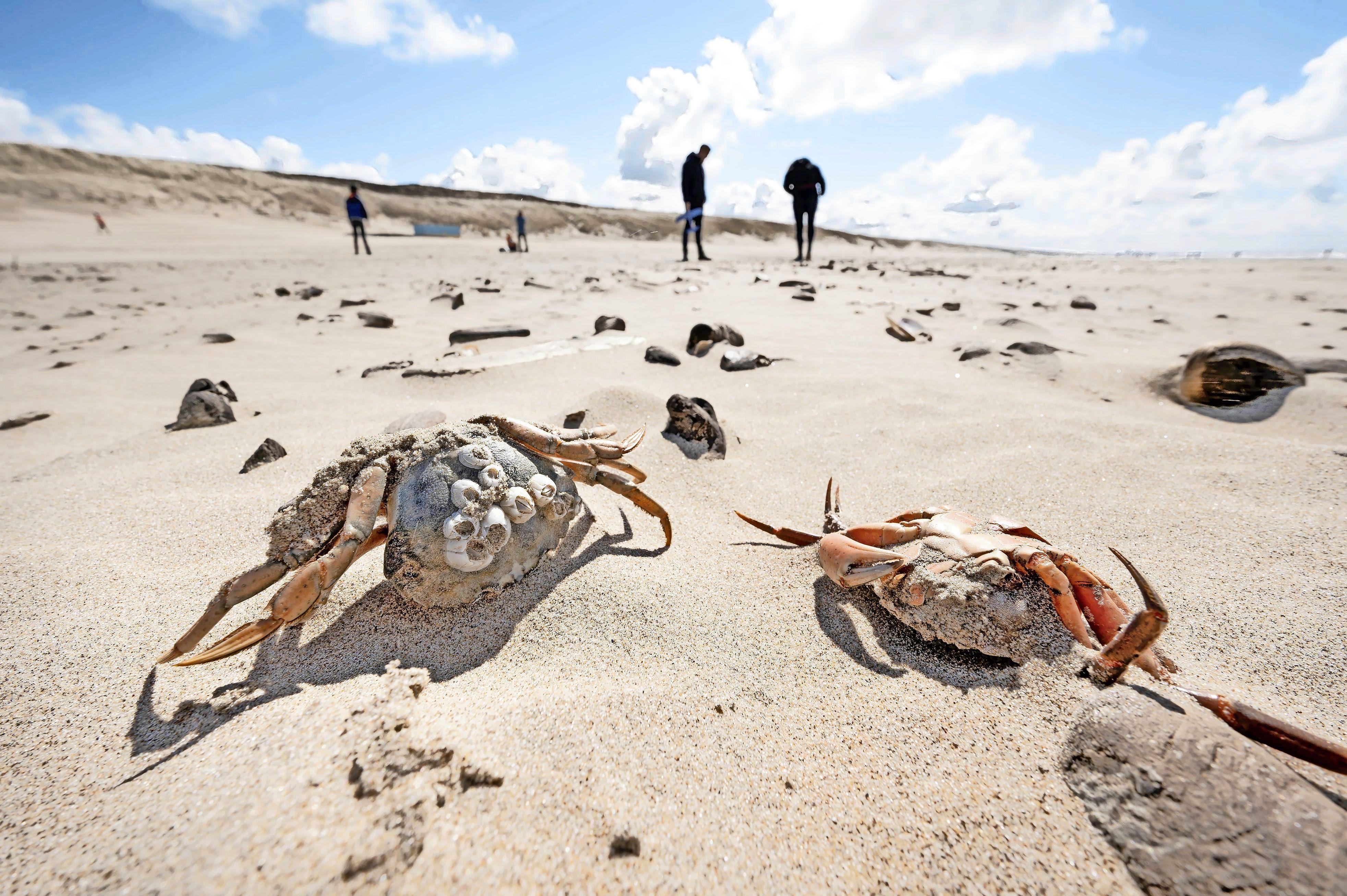 Zeepaardjes, zeesterren en zeeslangen spoelen massaal aan op de Noordzeestranden