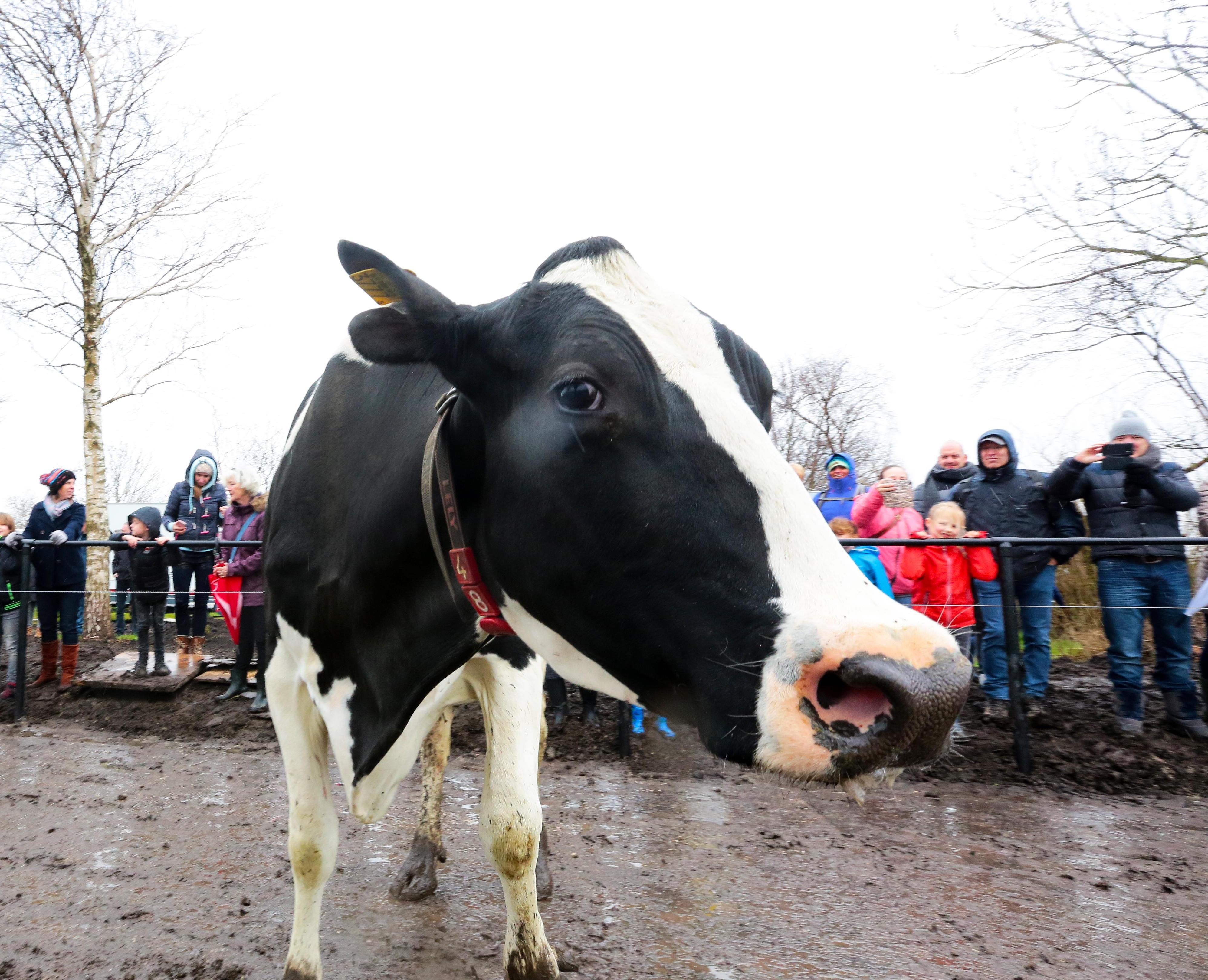 Eerste koeien in wei Leimuiden hebben veel bekijks [video]