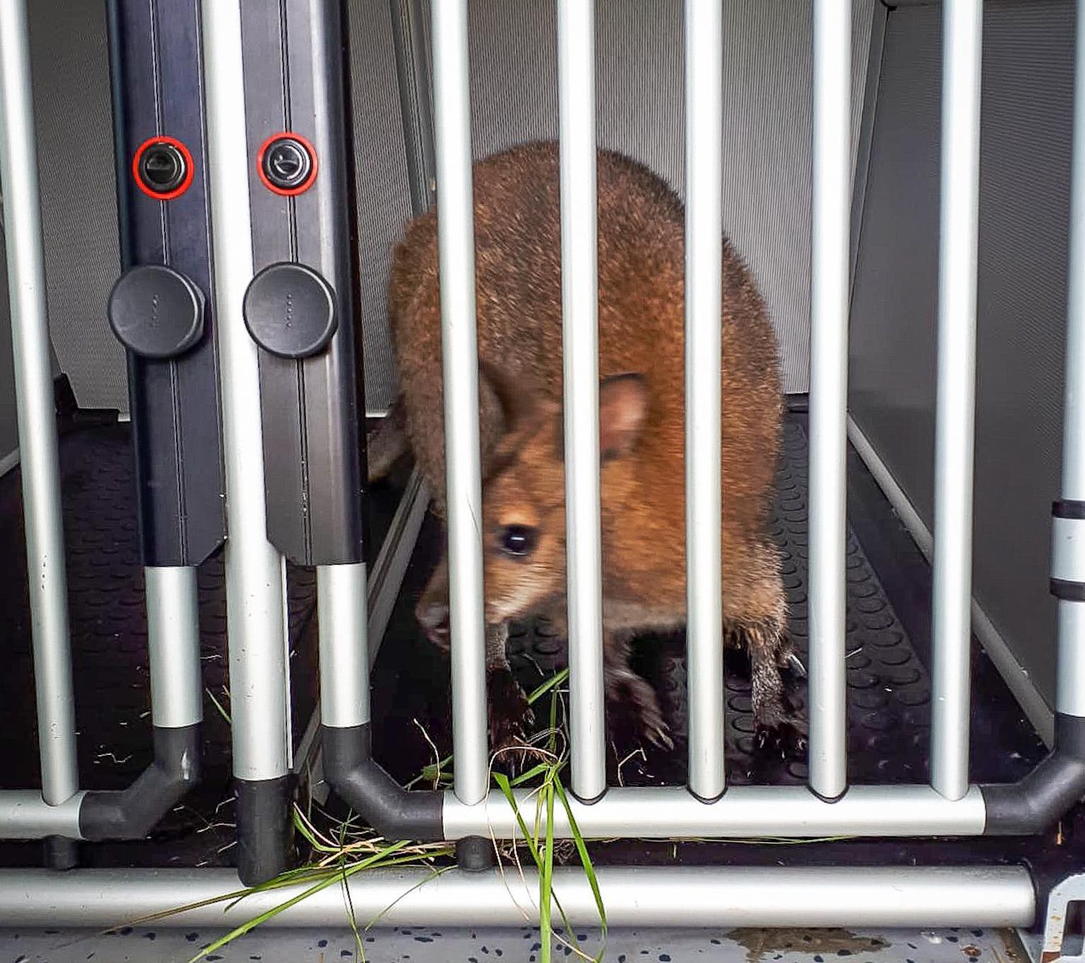 Zoektocht naar ontsnapte kangoeroe in Nieuw-Vennep