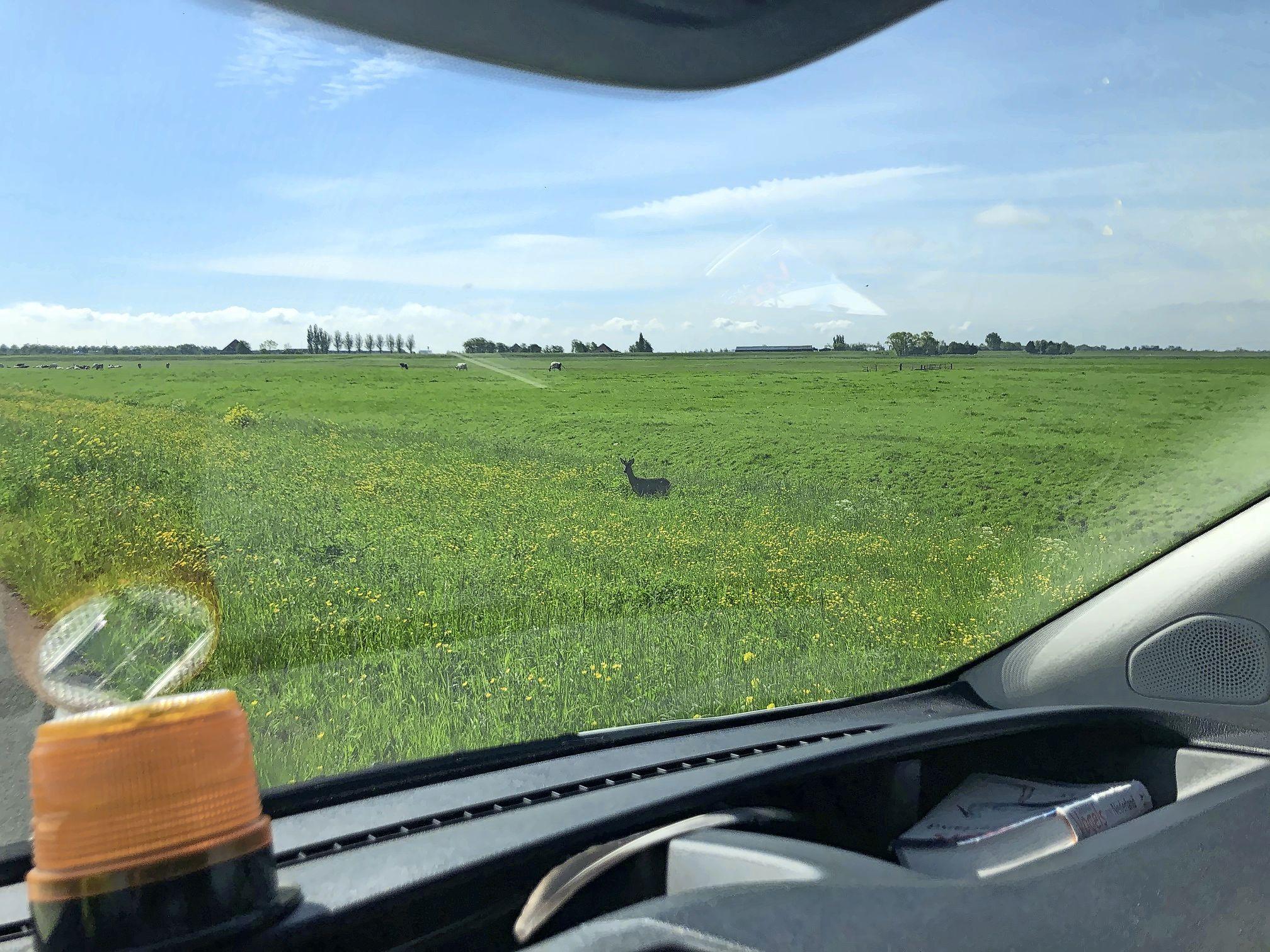 Een jonge reebok in je achtertuin: inwoners Waterland maken melding van 'dwaalgast', volgens faunabeheerder Peter van Poelgeest vertrekt ie vanzelf wel weer