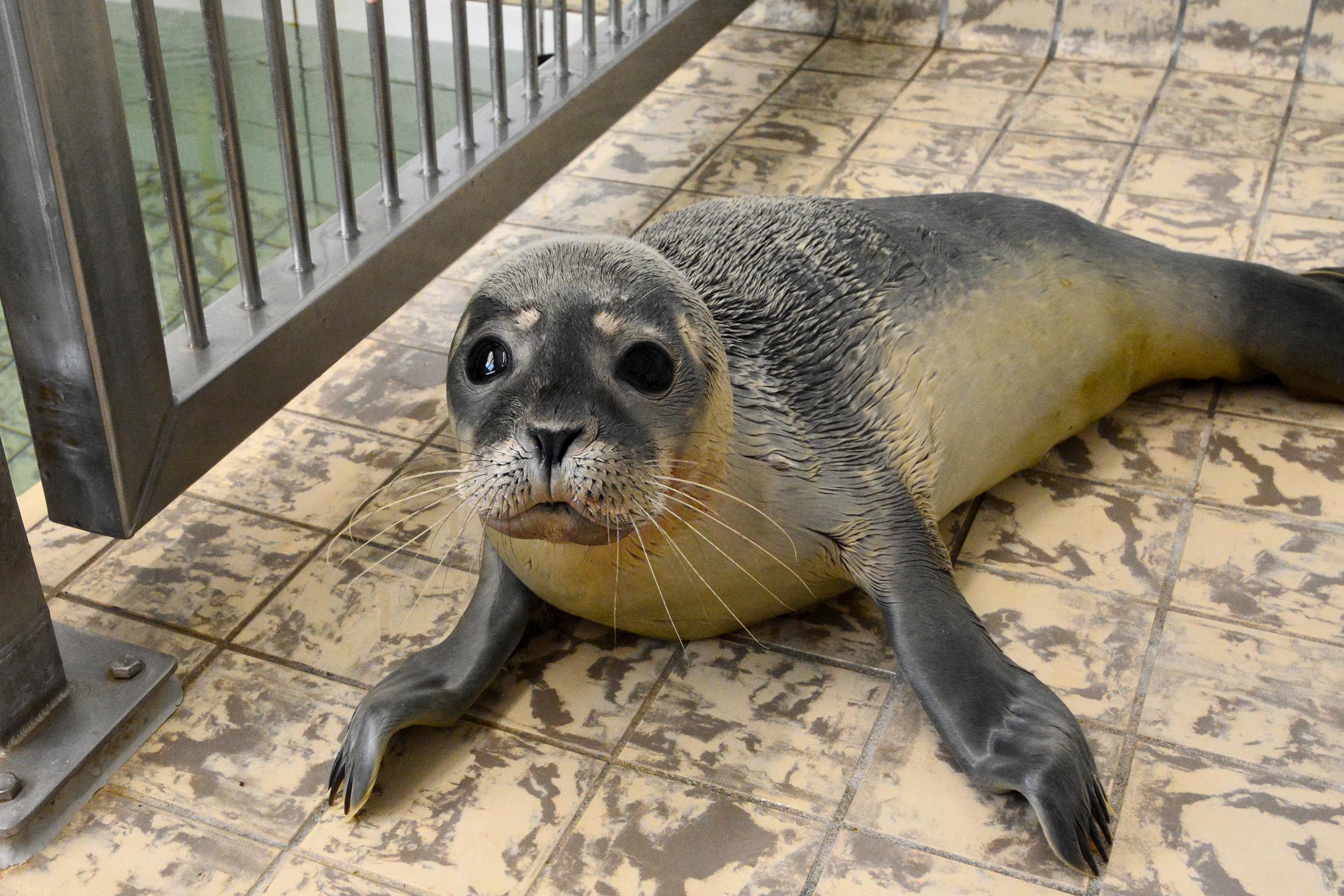 Ecomare helpt Pieterburen in nood: zieke jonge zeehond uit Petten wordt op Texel opgevangen